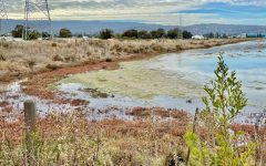 Bair Island Wetlands in Redwood city is one of the largest and most important wetland restoration projects in California.