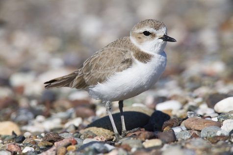 "Western Snowy Plover / ""Mike"" Michael L. Baird / Wikimedia Commons / CC BY 2.0"