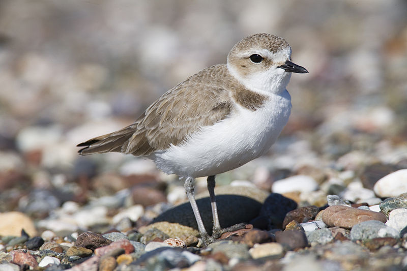 Western+Snowy+Plover+%2F+%22Mike%22+Michael+L.+Baird+%2F+Wikimedia+Commons+%2F+CC+BY+2.0