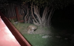 Belmont homeowner Anna Ramsey was extremely surprised at this nighttime visitor to her backyard.