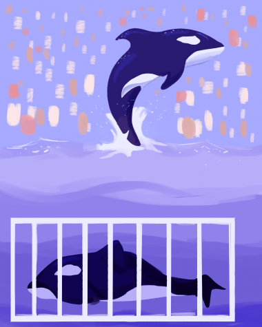 Due to their intelligence and playful personality, killer whales became animals of interest for entertainment. However, life in captivity has led to terrible consequences; captive killer whales often only live half as long as their wild counterparts, and many develop pathologies such as the dorsal fin collapse.