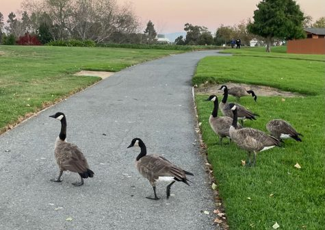 The overwhelming amount of geese in the Redwood Shores area has affected the cleanliness of much of the sidewalk space, which is a common dropping area.