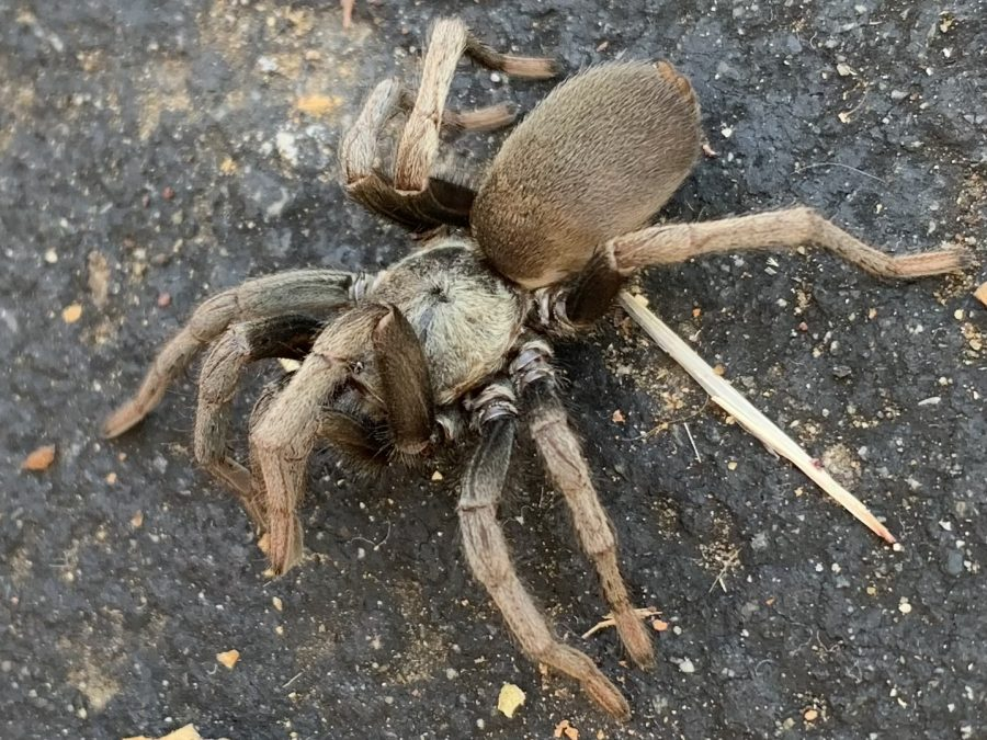A tarantula raises its front two legs outside of the T-wing. According to Live Science, tarantulas do this when they feel threatened, usually to scare off predators by making themselves appear larger.