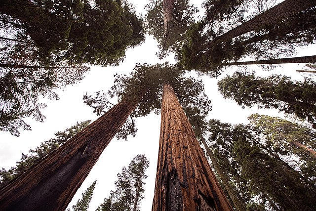 Trees in Sequoia National Park are unscathed despite nearby fires.