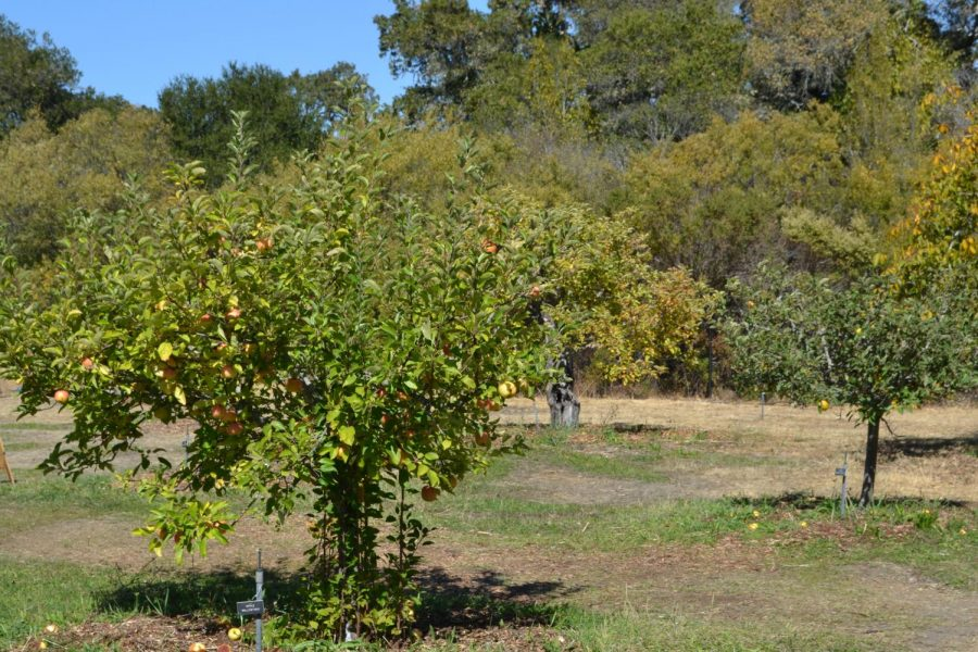 Various types of fruits grow yearly amongst the Filoli orchard.