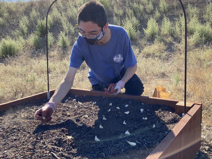 Aran O Sullivan plants garlic for the Green Teams hydroponics project.